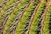 Cactus Detail Background — 图库照片