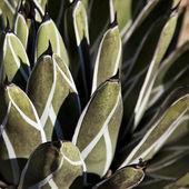 Cactus Detail Background — Stock Photo