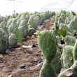Cactus Farm — Stock Photo