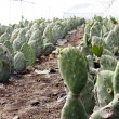 Stock Photo: Cactus Farm