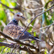 Turtle dove — Stock Photo #32678841