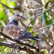 Stock Photo: Turtle dove
