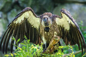 White-backed Vulture  (Gyps africanus) — Stock Photo
