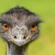 Portrait of Australian Emu (Dromaius novaehollandiae) — Stock Photo #49875647