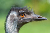 Portrait of Australian Emu (Dromaius novaehollandiae) — Stock Photo
