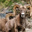 Bighorn Sheep Rams in Hell's Canyon of Snake River — Stock Photo