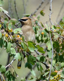 Cedar Waxwing among Berries in Tree — Stock Photo
