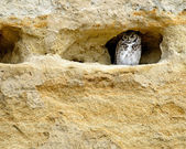 Great Horned Owl in Sandstone Cave — Stock Photo