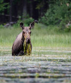 Moose Eating Grass in Pond — Stock Photo