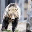 Grizzly Bear Walks in Woods — Stock Photo #30165589