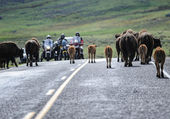 Buffalo Jam at Yellowstone — Stock Photo