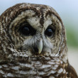 Barred Owl Close Portrait — Stock Photo
