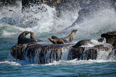 Sea Lions Play in Crashing Surf — Stock Photo