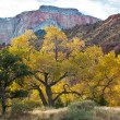 Cottonwood Tree in Autumn in Zion — Stock Photo