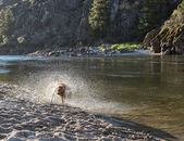 Dog In Flurry of Water — Stock Photo