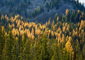 Tamaracks in Autumn — Stock Photo