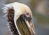 Pelican porträtt — Stockfoto