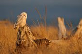 Snowy Owl at Sunset — Stock Photo
