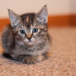 Kitten with Tufted Ears and Big Eyes — Stock Photo
