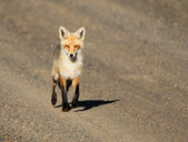 Red Fox Walks on Road — Stok fotoğraf