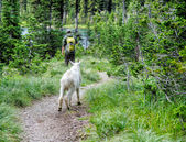 Hiking with Mountain Goat — Zdjęcie stockowe