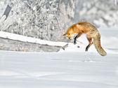 Red Fox Jumps — 图库照片