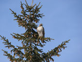 Red-tailed Hawk in Evergreen Tree — Stock Photo