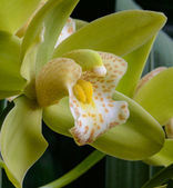 Cymbidium Orchid — Stock Photo