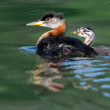 Red-necked Grebe with Chick — Stock Photo #40018331