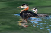 Red-necked Grebe with Chick — Stockfoto