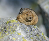 Pika — Stock Photo