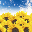 Sunflower field on cloudy blue sky — Stock Photo