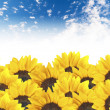 Sunflowers on cloudy blue sky — Stock Photo