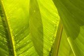 Textura de folha de banana de perto — Foto Stock