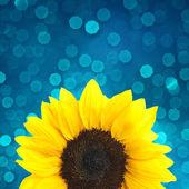 Sunflower on blue background — Stock Photo