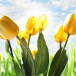 Tulip flowers with beautiful sky background — Stock Photo