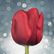 Close up on red tulip flower — Stock Photo #30223583