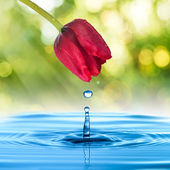 Water drop from tulip flower — Stock Photo