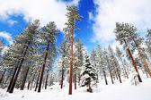 Sneeuw op bomen — Stockfoto