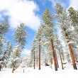 Tree on mountain in lake tahoe beach — Stock Photo