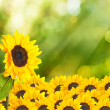 Sunflower field with bokeh summer background — Stock Photo
