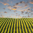 Row of vineyard — Stock Photo #31428675