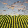 Row of vineyard — Stock Photo