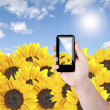 Cell phone in hand take photo of beautiful sunflower field view — Stockfoto