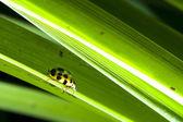 Marienkäfer auf Blättern — Stockfoto