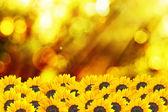 Sunflower with sunset light i — Stock Photo