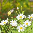 Daisy flower and Butterfly — Stock Photo