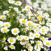 Field of daisy flower and Butterfly — Stockfoto