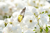 Butterfly on white flower — Stock Photo