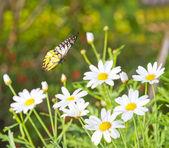 Borboleta e flor da margarida — Foto Stock